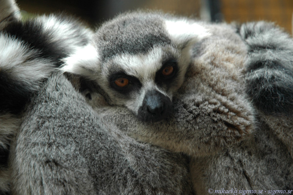Lazy Ring-Tailed Lemur With Attitude